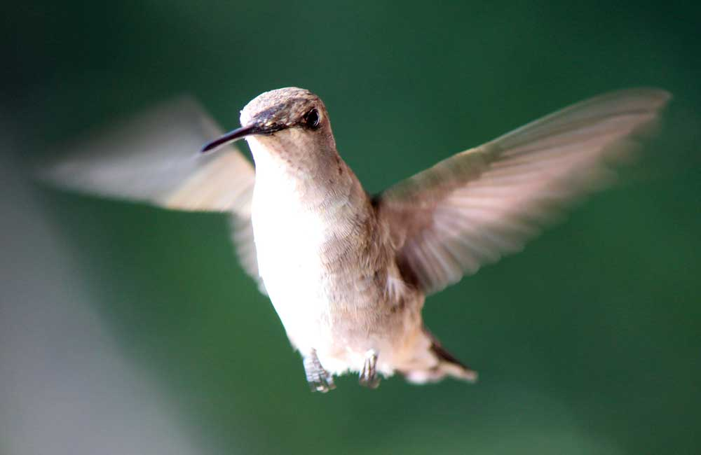 Visiting Hummingbird