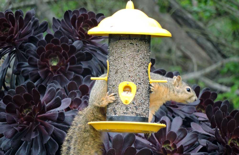 Pesky Squirrel
